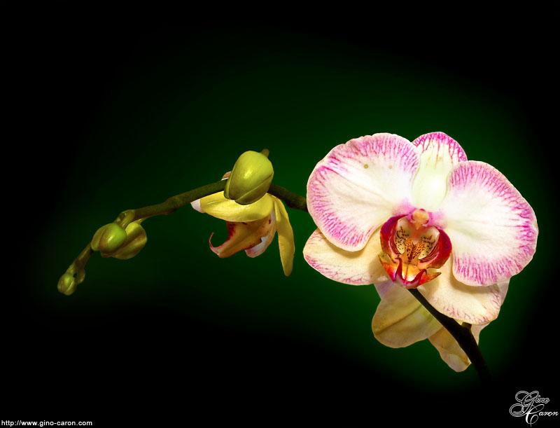 Orchidaceae ou Orchidée