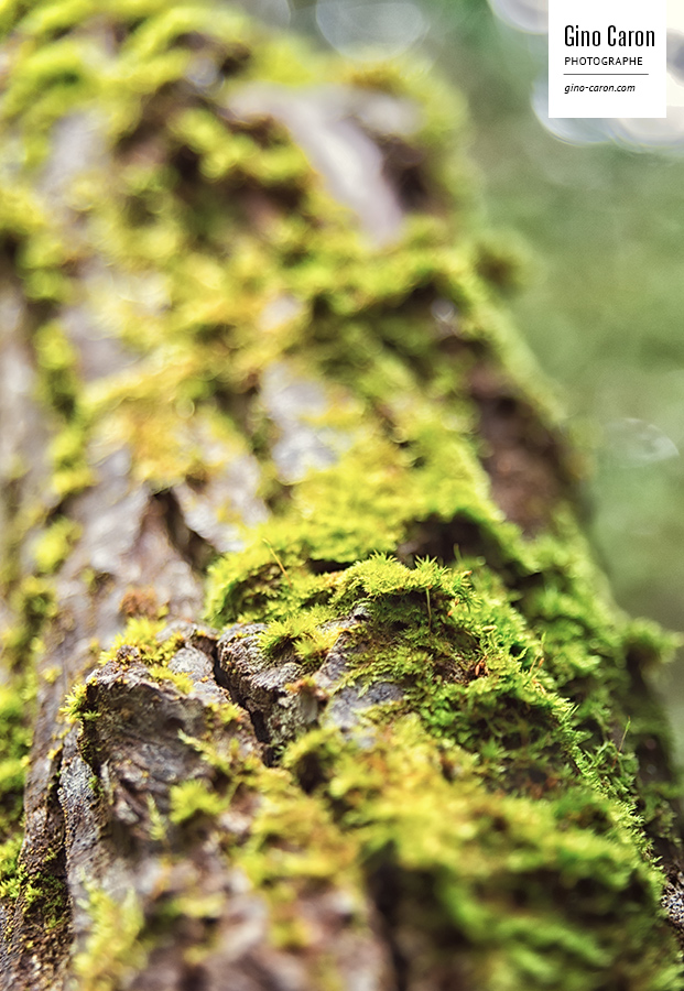 Gino caron photographe mousse sur un arbre gino caron photographe - Mousse sur les arbres ...