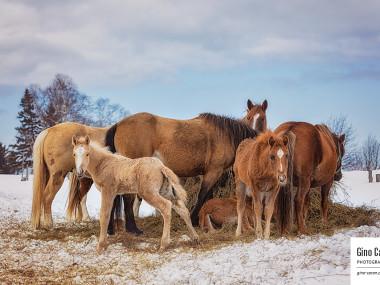 Ranch Saint-Fabien – Groupe de chevaux et foin II