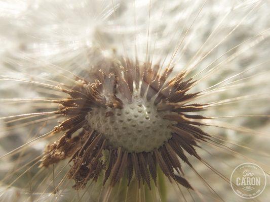 Fleur de pissenlit II